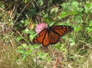 Monarch butterfly on a red clover at the Wheelwright entrance to the Mass Central Rail Trail.