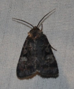 moth2