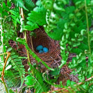 Eggs in a hermit thrush nest.