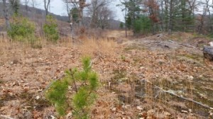 A pitch pine seedling in the area that will be burned at Frohloff Farm.