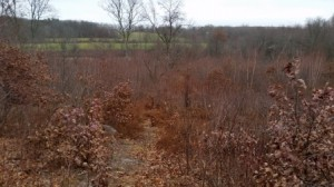 Part of the area that will be cleared again this winter in an effort to keep the area thick with saplings for animals, birds and insects that need the habitat.