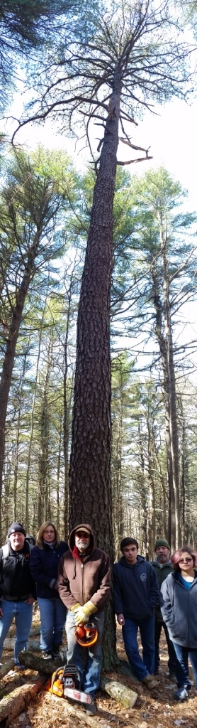 Pitch pine and group vertical