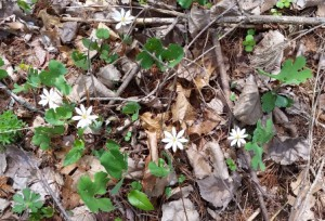 Bloodroot blooming near the edge of the pond part of Flat Brook.
