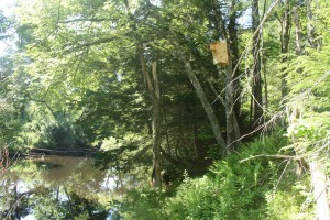 The banks of the Ware River with a newly installed wood duck box.