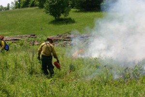 Using a drip torch to light the thatch under the grasses and sedges on fire.
