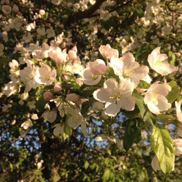 Category 7 - Flowers & Greenery. Apple Blossoms at Mandell Hill, by Jennifer Mott, May 5, 2016