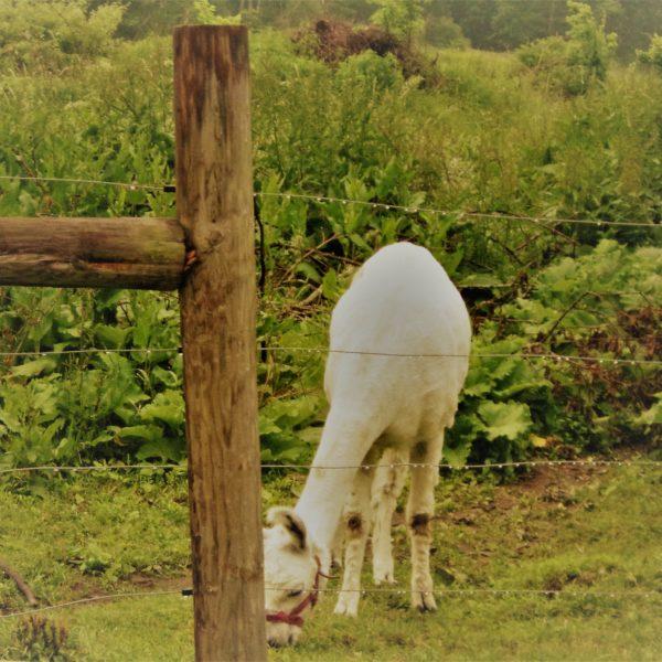 Category 1 - Wildlife. Spot Grazing, taken by Rosalynn Cogoli in June 2019 at Mandell Hill