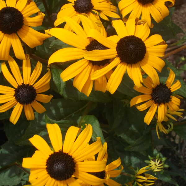 Category 7 - Flowers & Gardens. Black-eyed Susans by Becky Ikehara, taken July 29 2018 at Wendemuth Meadow