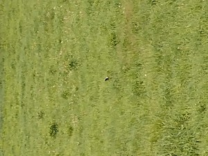 There's a male bobolink in this photo. Can you find him?