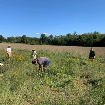 Maintaining the Pollinator Meadow at Seven Acre Preserve
